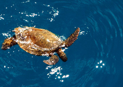 holoholo_green-sea-turtle-niihau