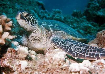 holoholo_napali-turtle