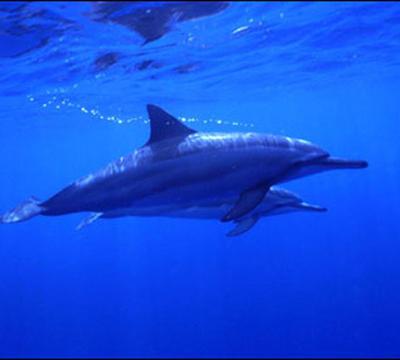 kona dolphins