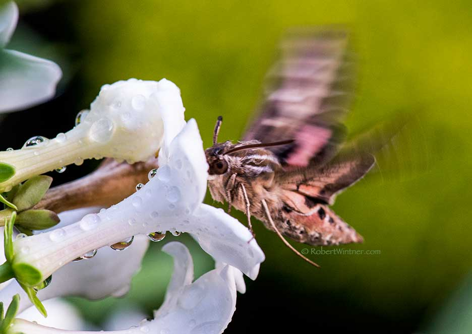 Mothra Redux