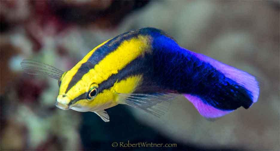 Hawaiian Superfish