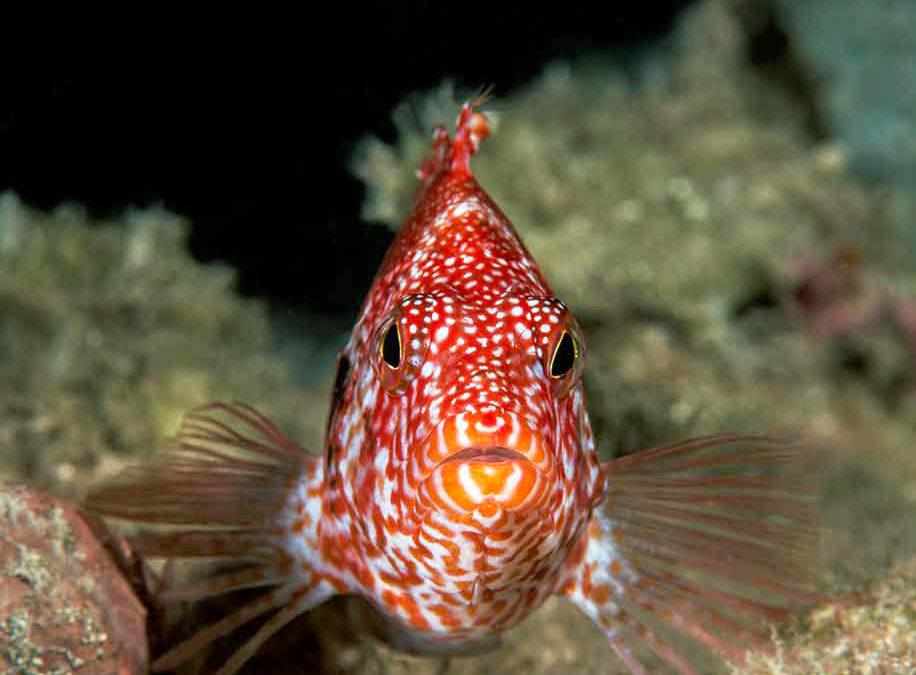 Redbar Hawkfish Confidential: