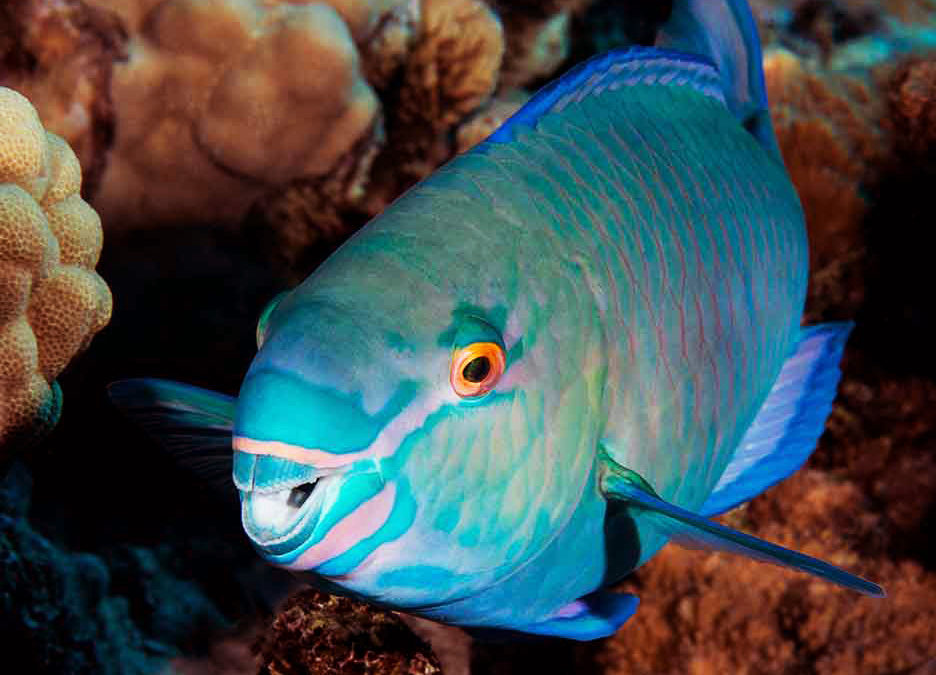 Parrotfish Counsel