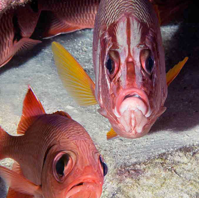 Squirrelfish Dismay