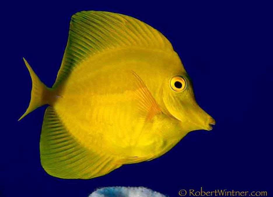 Yellow Tang Truth
