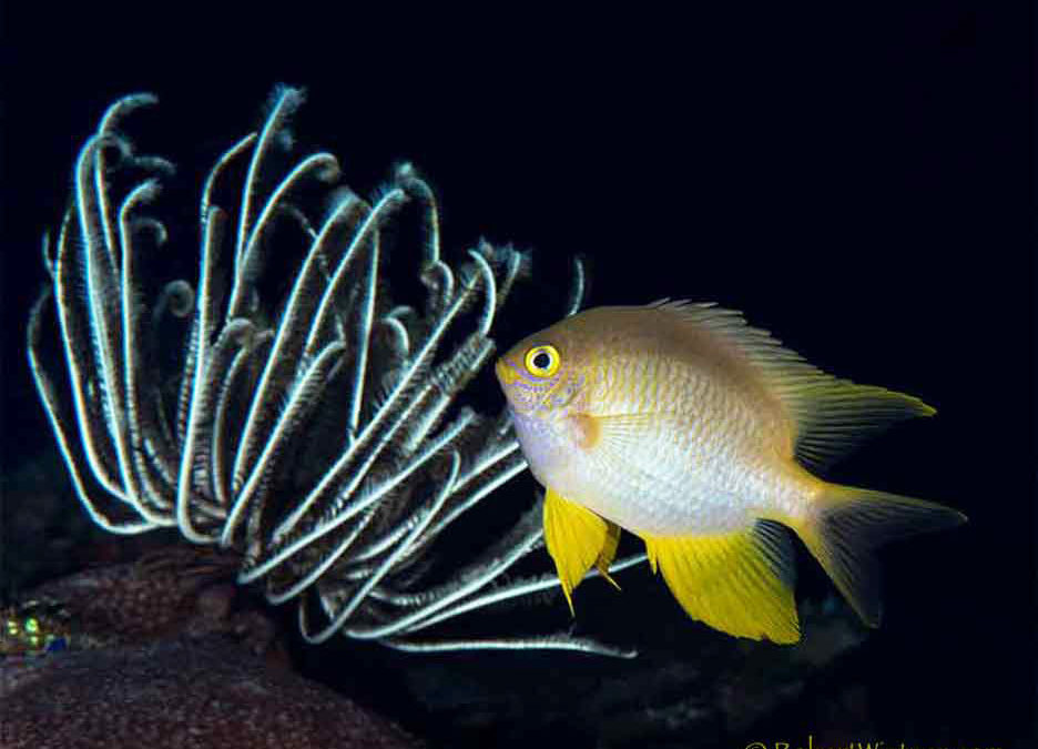 Yellow Chromis Repose