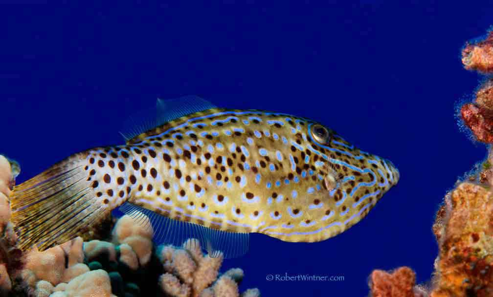 Scrawled Filefish in Planar Modulation