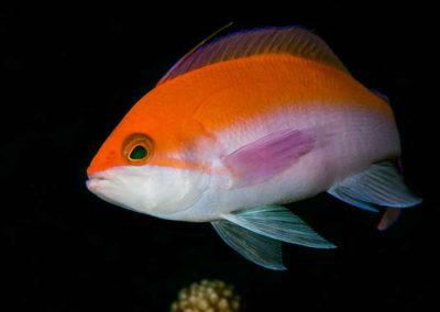 bicolor-anthius-redhill