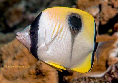 teardrop-middle-reef