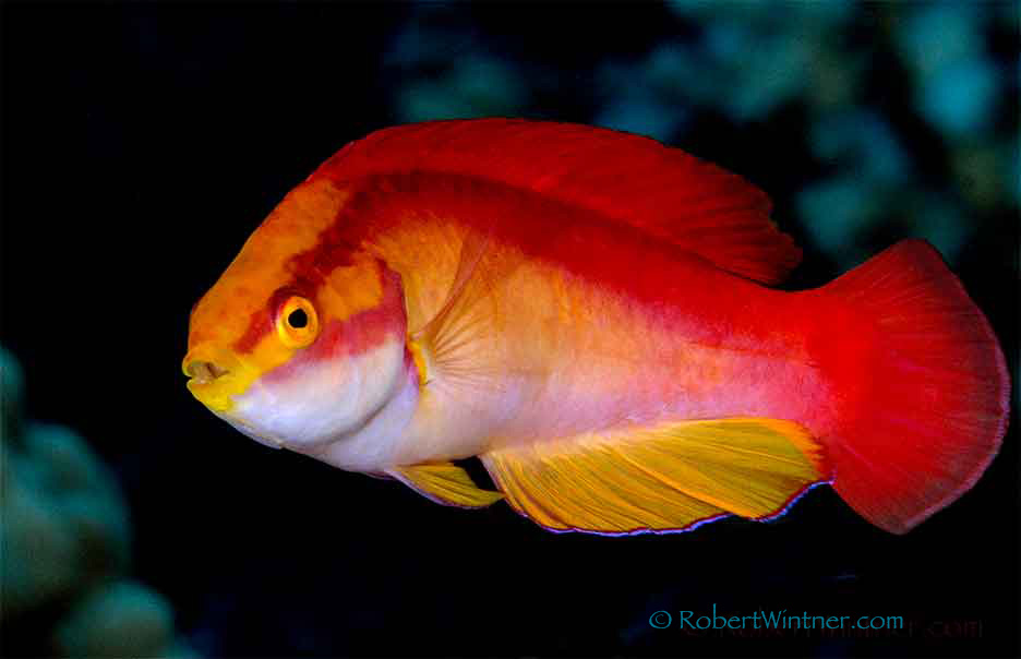 Flame Wrasse Confidential: HELP!