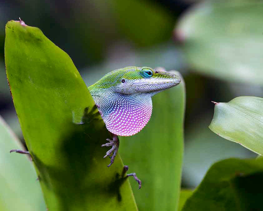 In Springtime a Young Lizard's Fancy Turns to Love