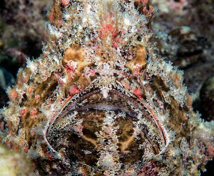 Frogfish Mama