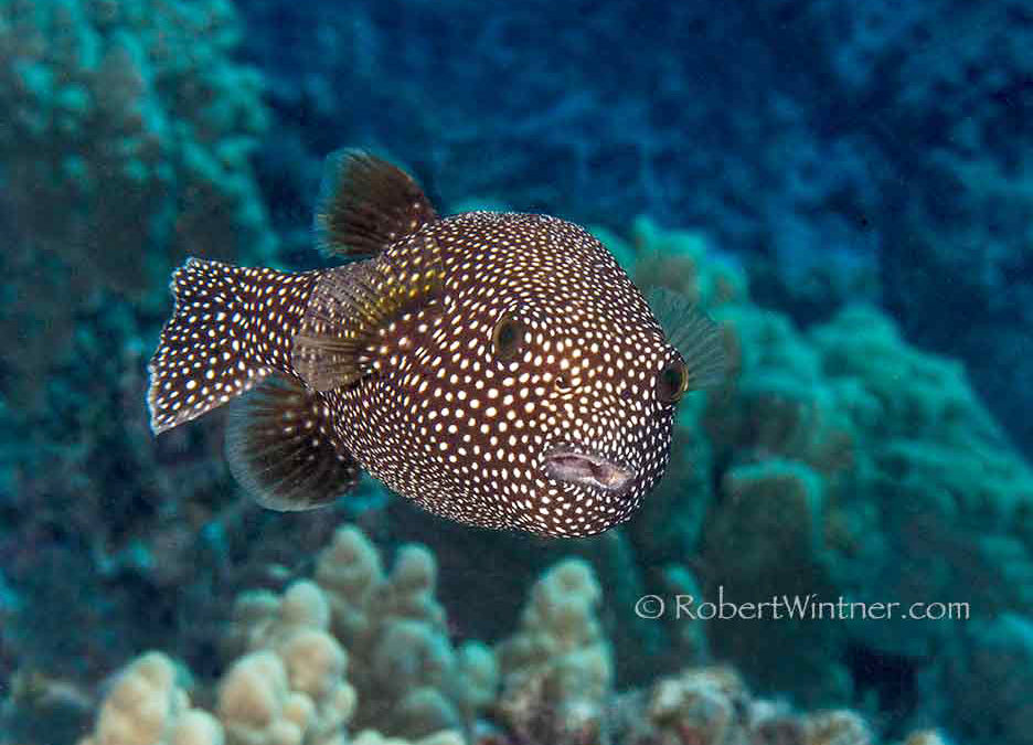 Hawaiian Spotted Puffer at Home