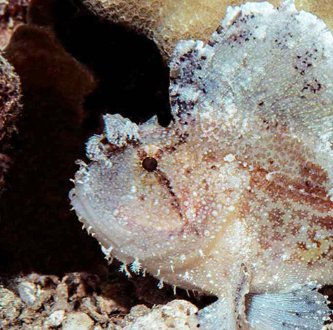 Leaf Scorpionfish Repose
