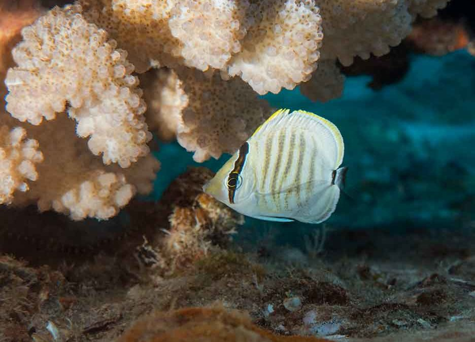Multiband Butterflyfish at Home