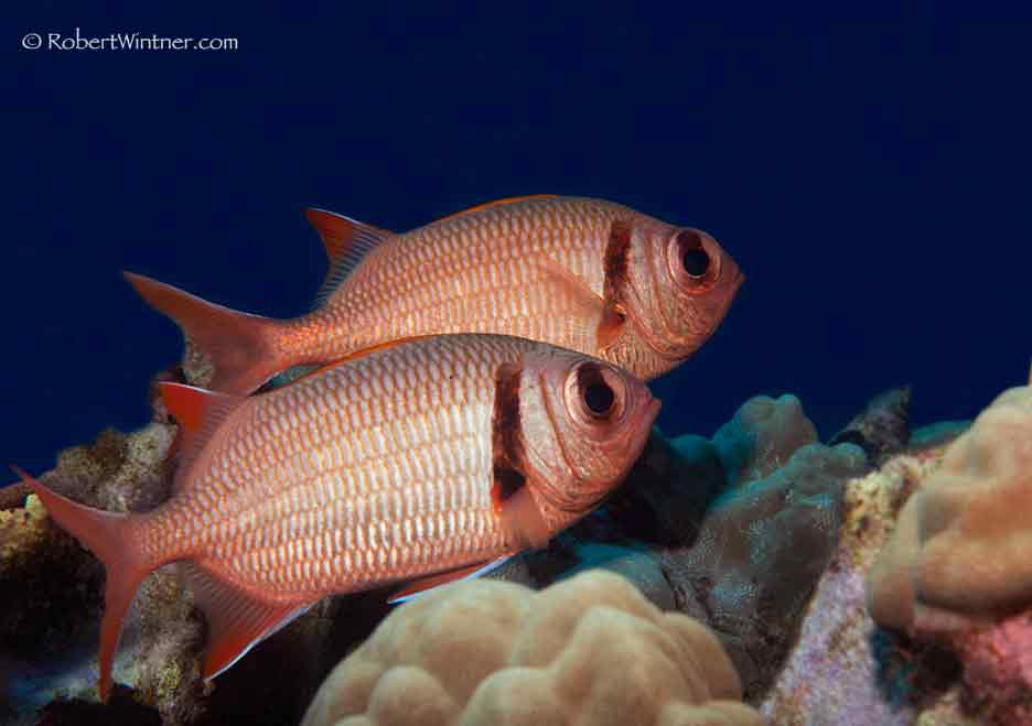 Soldierfish Sentries