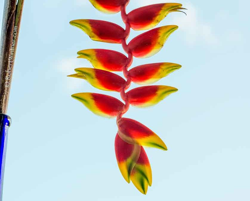 Heliconia Light with QE III Squawking Down in Front