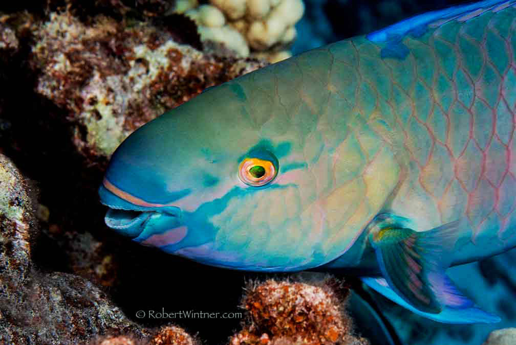 Paltry Protection for Parrotfish is a Ruse—