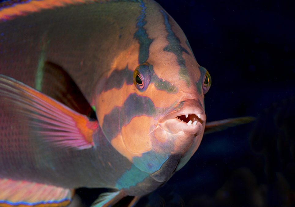 Yellowtail Coris Speaks: