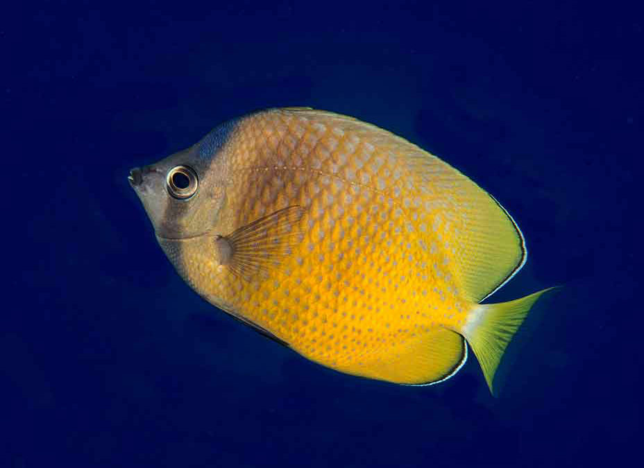 Blacklip Butterflyfish Confidential: