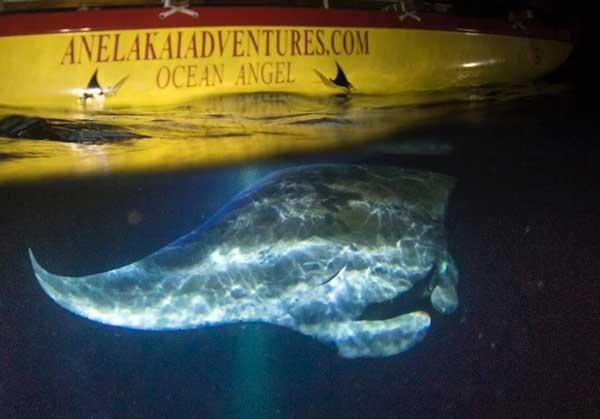 manta-rays-kona